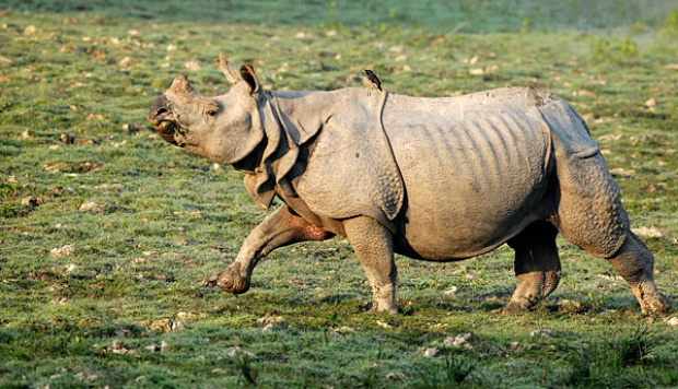 Hope for the Indian Rhino