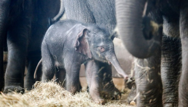 Elephant Born at Way Kambas National Park, Lampung