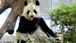 Gender of Baby Panda Born in Tokyo Revealed